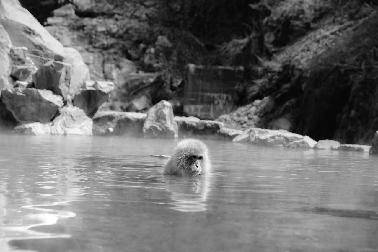 Monkey Snow Monkey Water Swim Pool Onsen Nature Close-up Stare Calm Relax Relaxing Relaxing Time Travel Japan Japan Photography Japan Scenery