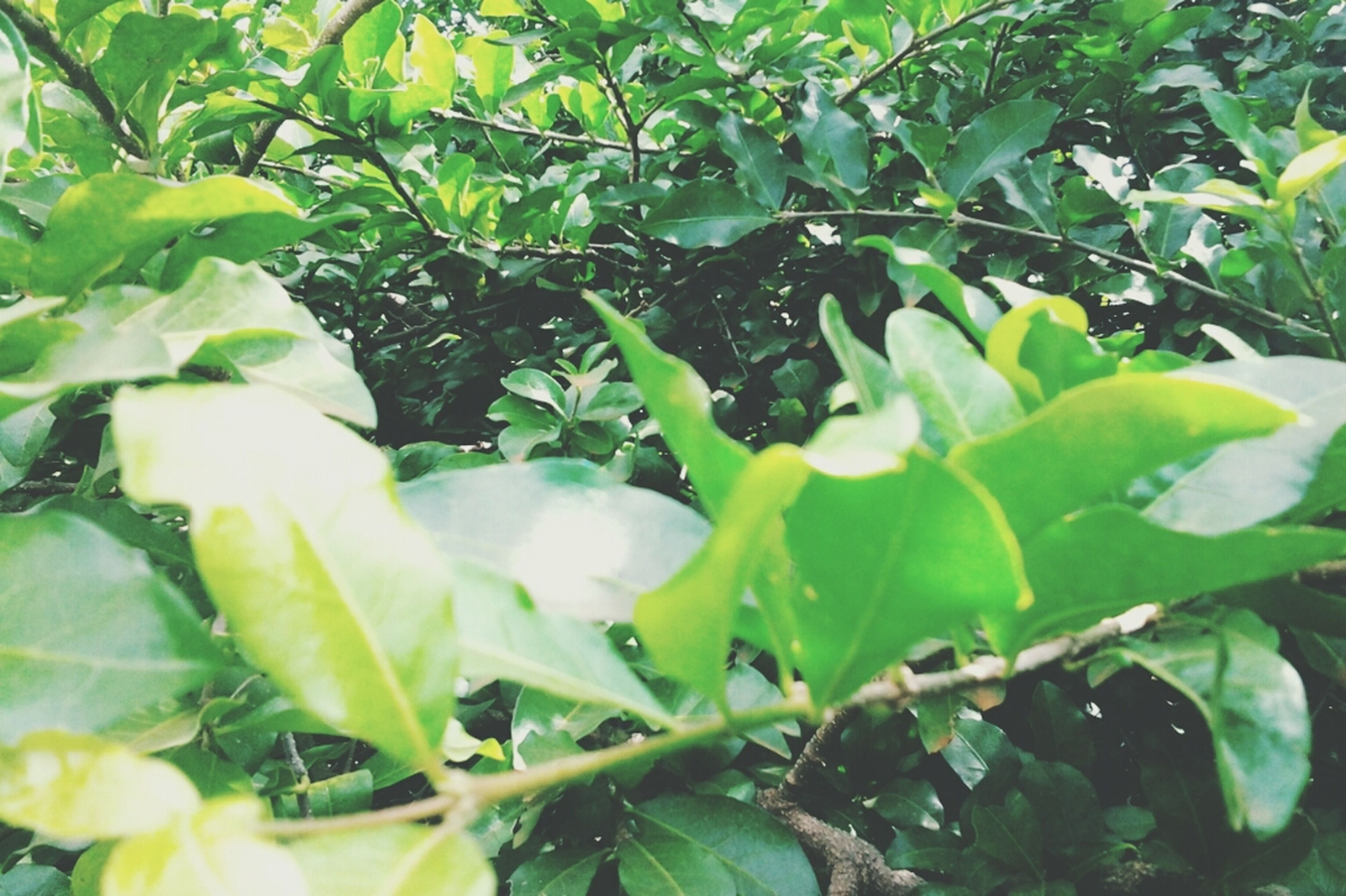 leaf, green color, growth, plant, nature, beauty in nature, freshness, tree, close-up, branch, green, full frame, lush foliage, tranquility, leaves, growing, day, outdoors, high angle view, no people