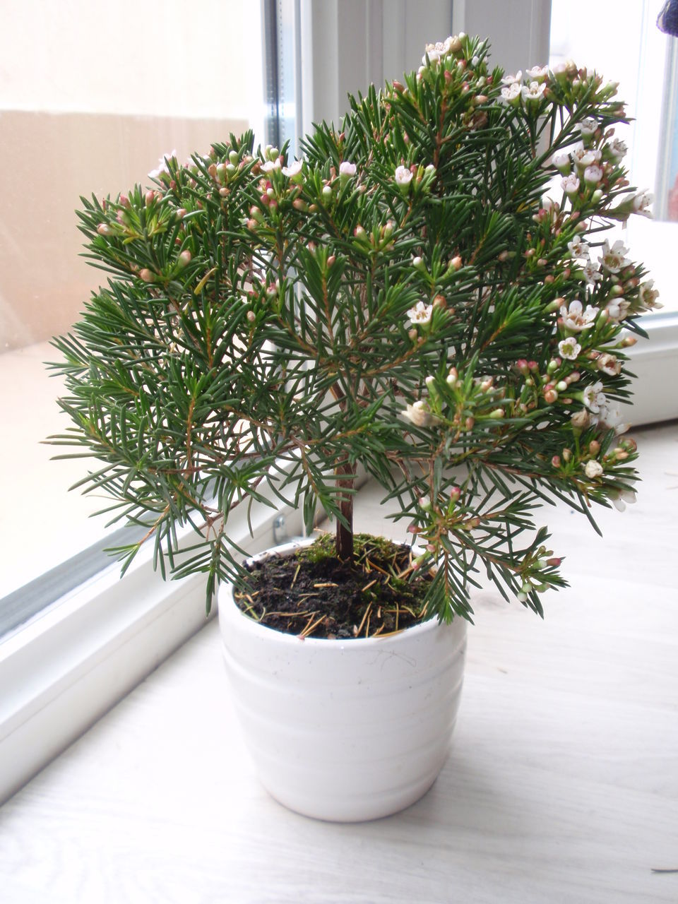 growth, potted plant, plant, green color, nature, bonsai tree, no people, indoors, leaf, close-up, day, beauty in nature