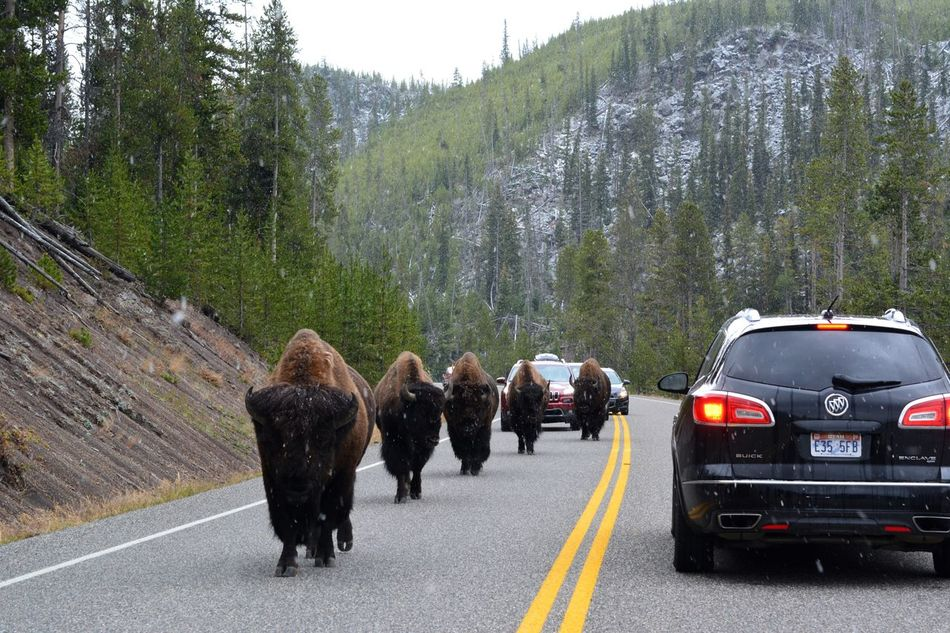 Road Bison Yellowstone National Park Car Nature USA American Bison Animal Themes Animals In The Wild Animal Wildlife