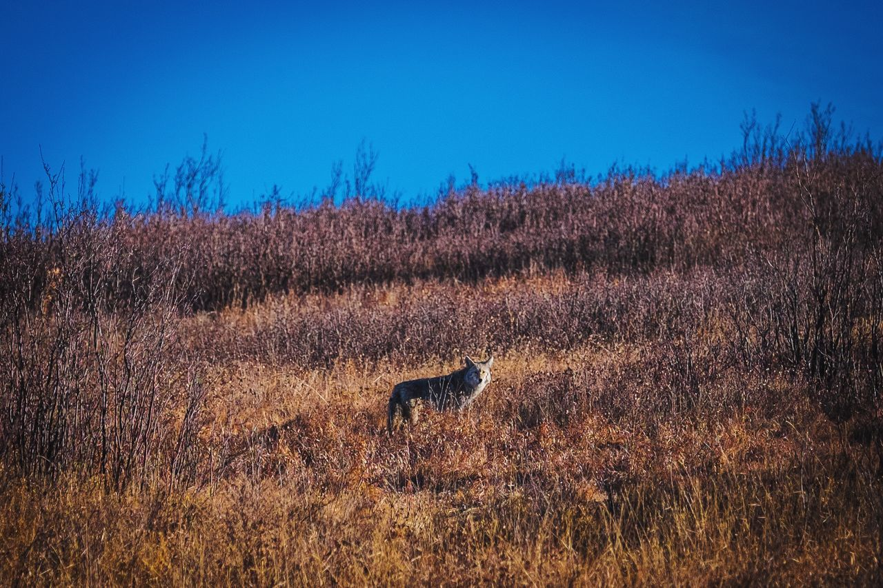 Coyote Coyote Hunt Lone Wolf Woodland Critters Stalk Nature
