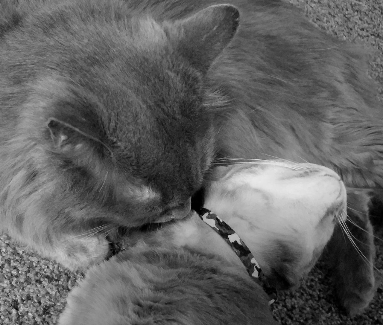 Brotherhood Black & White Cats Of EyeEm Domestic Animals Fluffy Love Furry Love Lovely MUR B&W Pets