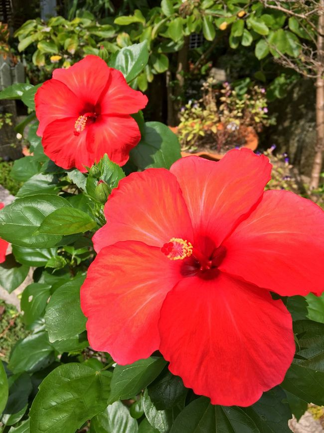 How beautiful flower, isn't it?? Flower Beautiful Beautiful Nature Beautiful Day Hibiscus Nature Green Color Red Color Red Flowers Plant Upcoming  Picture Daylife Inmylife Nature Photography Nature Lovers