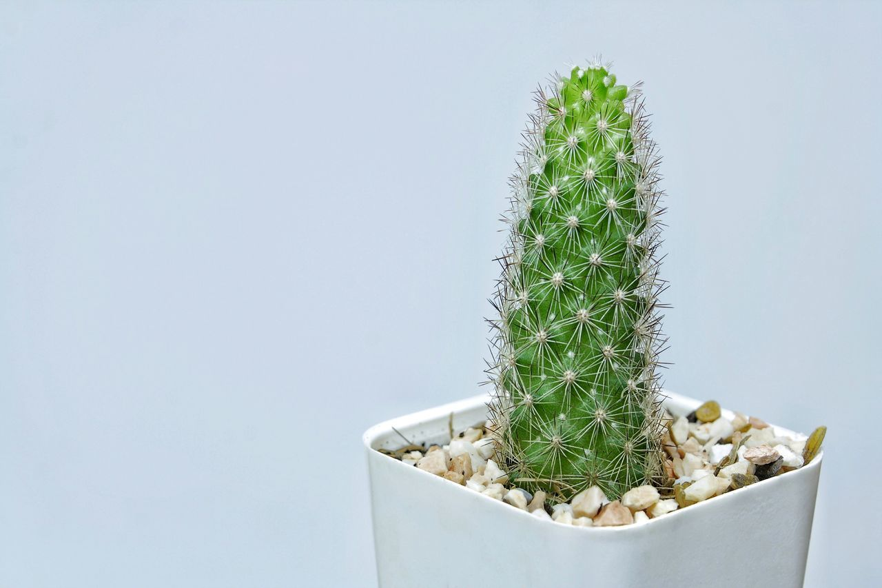 Cactus with white background. Plant Growth Green Color Cactus Botany Potted Plant No People Nature Beauty In Nature Grass Agriculture Close-up Indoors  Studio Shot Growth