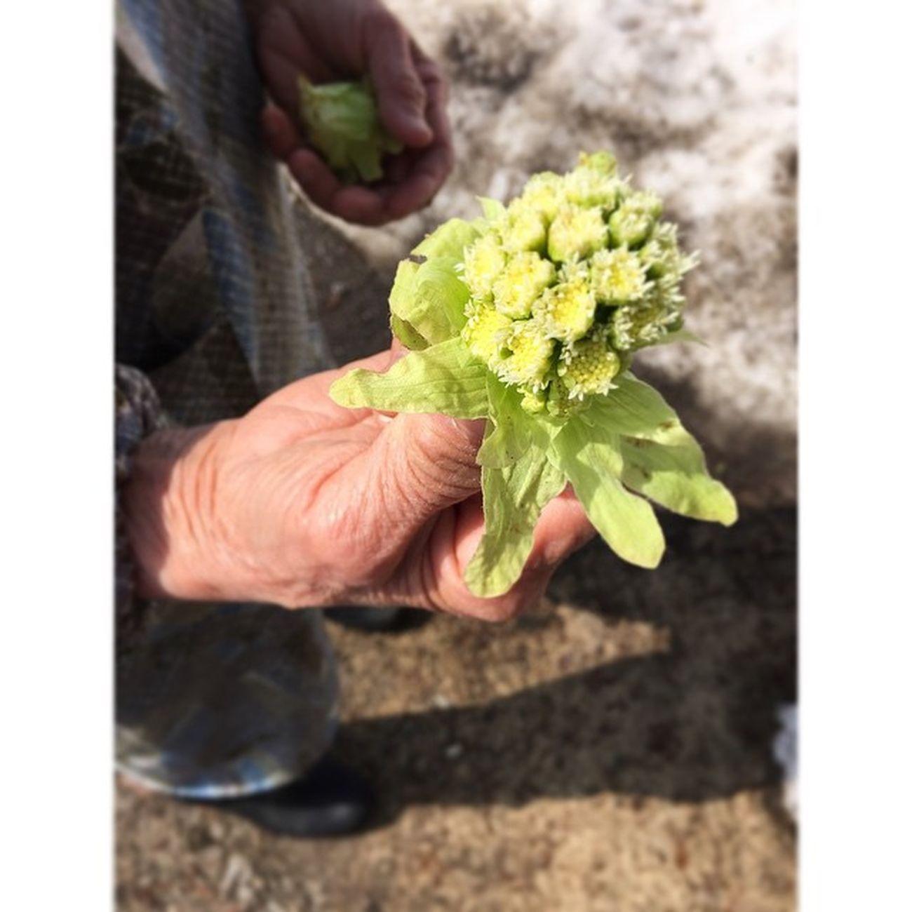 近所のばあさんが、ふきのとうを摘んでた。小谷村も春です。美しい手だ。 白馬 小谷 栂池高原