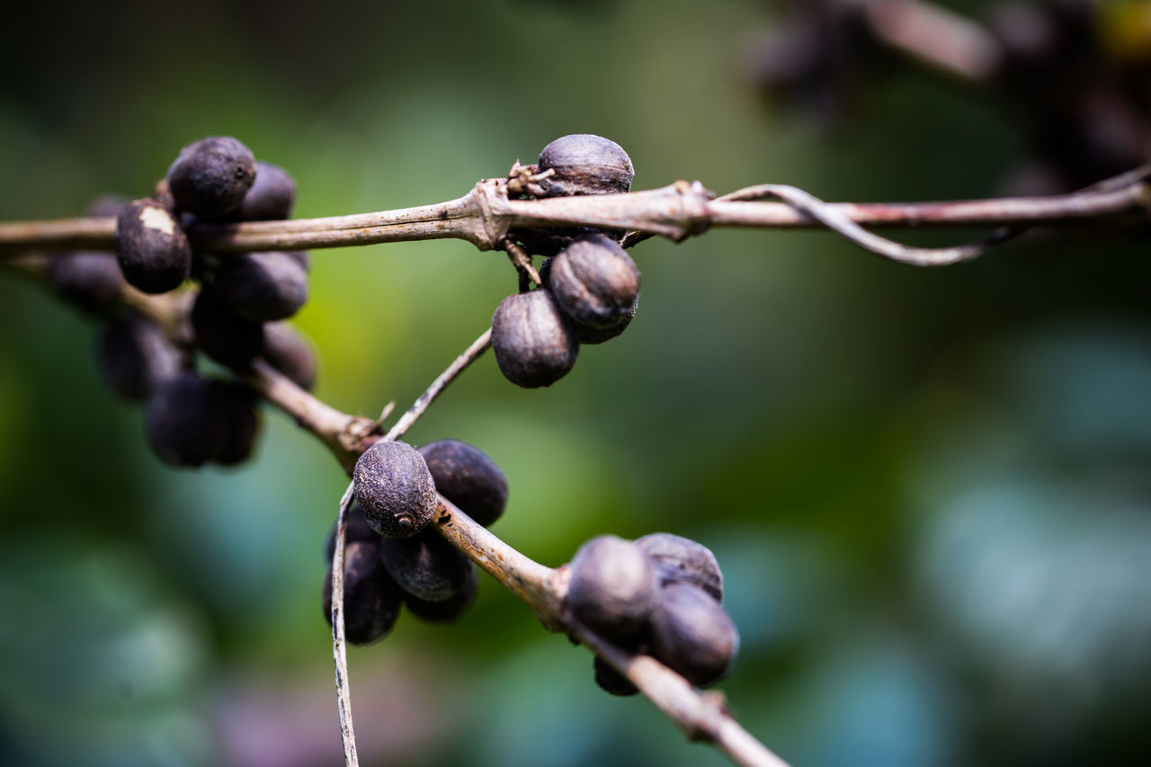 Ripe Coffee Berries Waiting To Harvested Agriculture Close Up Nature Close-up Coffee Coffee Seeds Day Field Focus On Foreground Fruit Nature No People Outdoors Plant Social Issues Twig