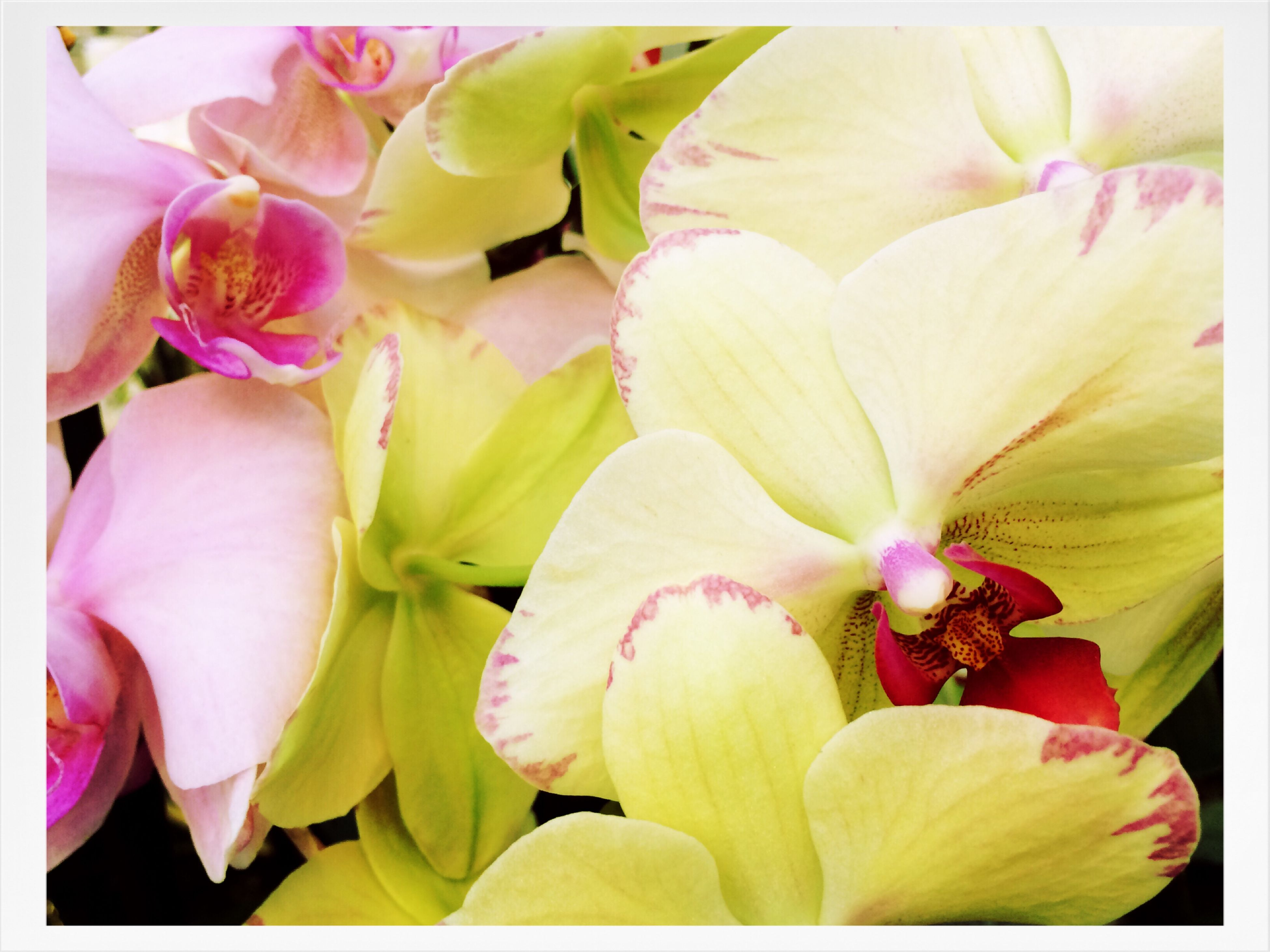 flower, petal, flower head, freshness, fragility, beauty in nature, growth, close-up, nature, pink color, blooming, stamen, orchid, blossom, pollen, plant, yellow, full frame, backgrounds, in bloom
