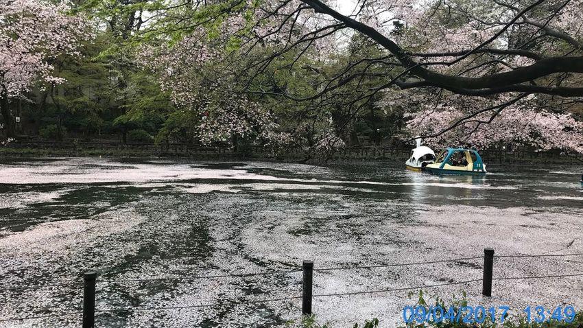 Branch Cherry Blossoms Day EyeEmNewHere Inokashira Park Nature Outdoors Tree