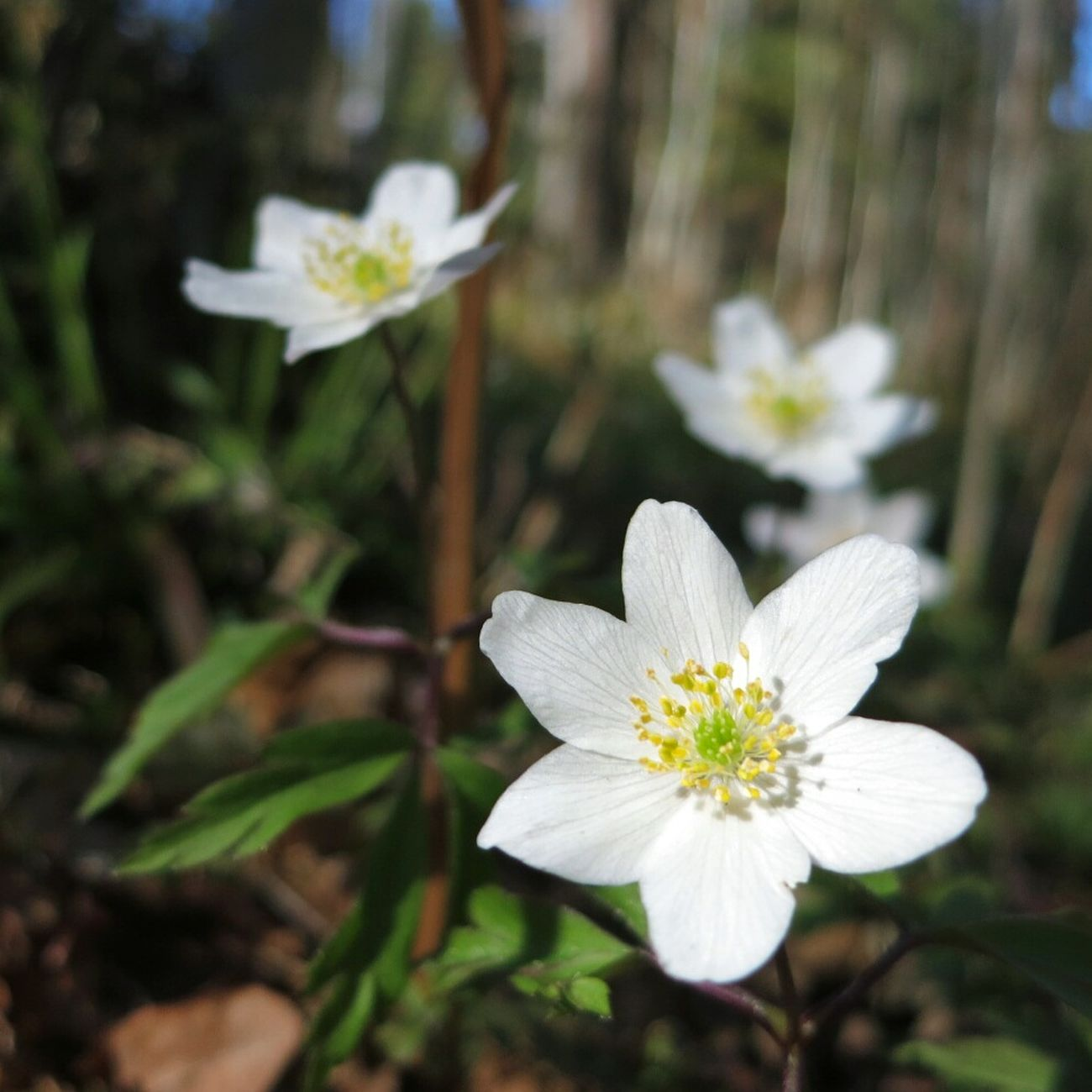 Walking Spring Forest Wood Anemone