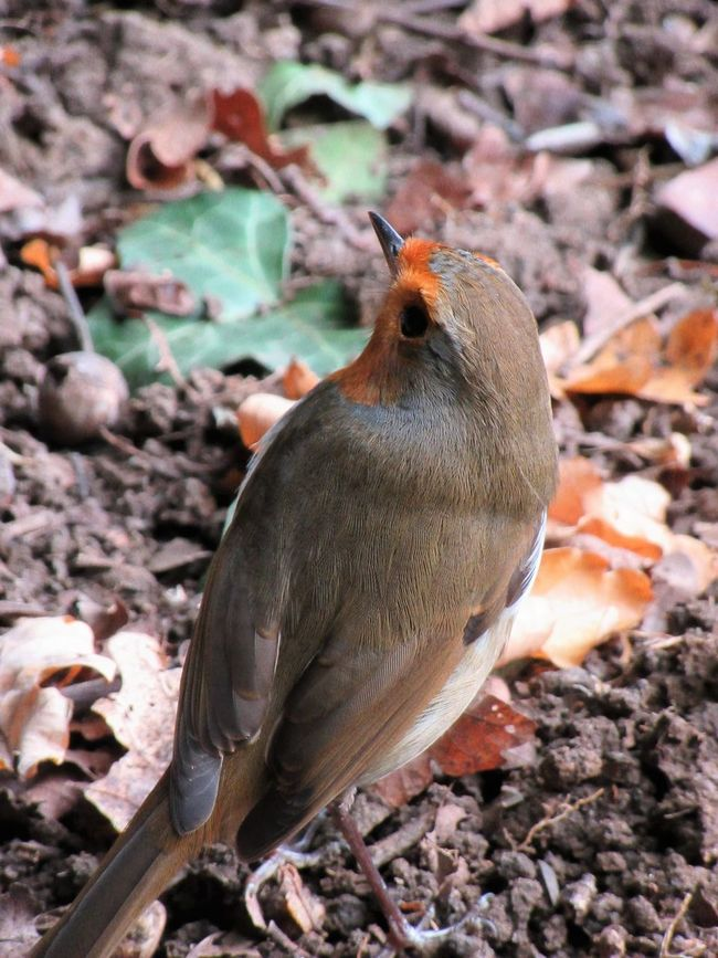 Robin from behind Animal Themes Animal Wildlife Animals In The Wild Bird Close-up Day Feathers Nature No People One Animal Outdoors Robin