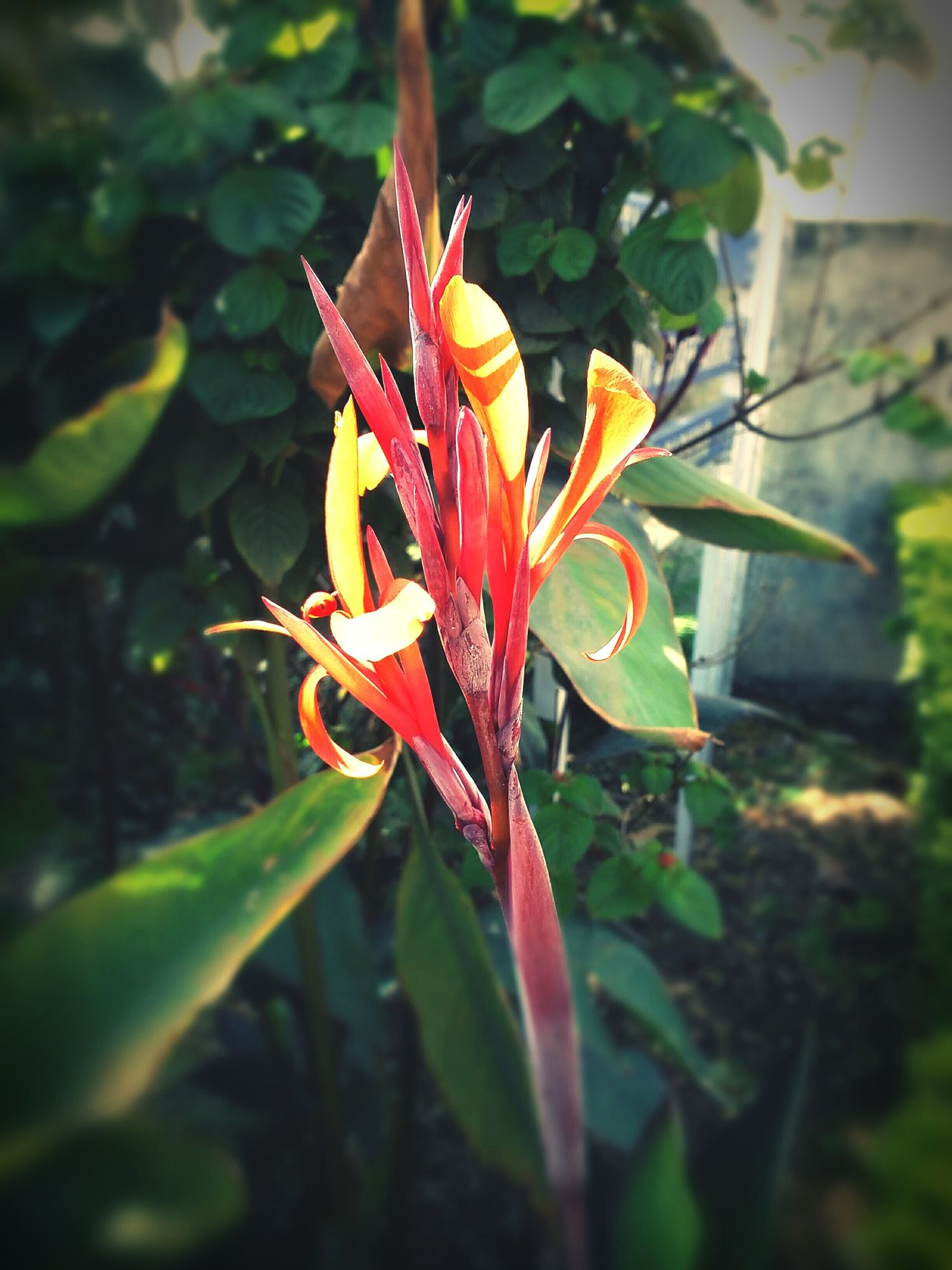 Mobile Photography Sunlight Outdoor Photography Outdoors❤ Red Flowers Leaves🌿 Edited My Way Edited This Myself Leaves 🍁 Nature Flowers, Nature And Beauty Beauty In Nature Multi Colored Outdoor Life Tranquility Outdoorlife Close-up Fragility Growth