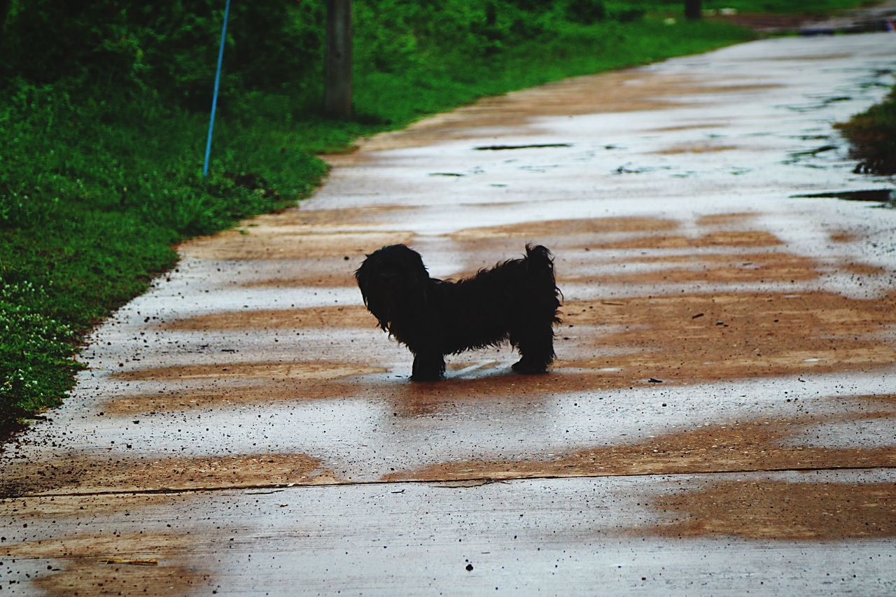 pets, dog, domestic animals, animal themes, one animal, mammal, black color, day, no people, outdoors, nature, road, standing, full length, grass, water