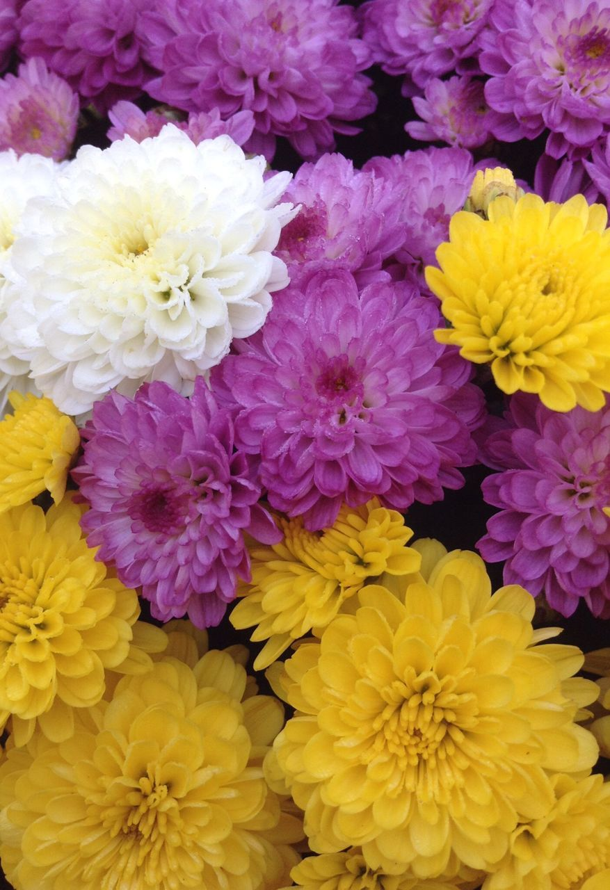 flower, fragility, petal, beauty in nature, freshness, yellow, flower head, nature, no people, chrysanthemum, growth, purple, full frame, close-up, backgrounds, plant, blooming, flower market, outdoors, day
