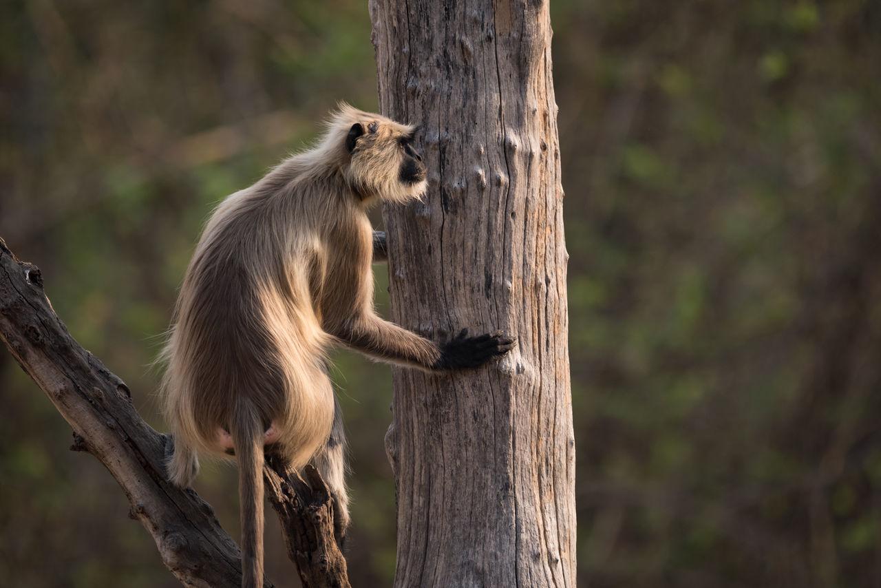 Animal Themes Animal Wildlife Animals In The Wild Day Full Length Hanuman Langur Langur Mammal Monkey Nature No People One Animal Outdoors Tree Tree Trunk Wood - Material