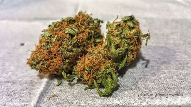 Grapefruit (Sativa) . Amour Photographies 1/2 Grapefruit Grape Fruit Sativa Strain Medical Marijuana Bud Cannabis Dispensary Dispensary Life Organic Island Grown Bc Bud Beautiful Vancouver Island British Columbia Canada High Life Up Close And Personal Simple Photography Bud Collection Island Life Cannabis Community