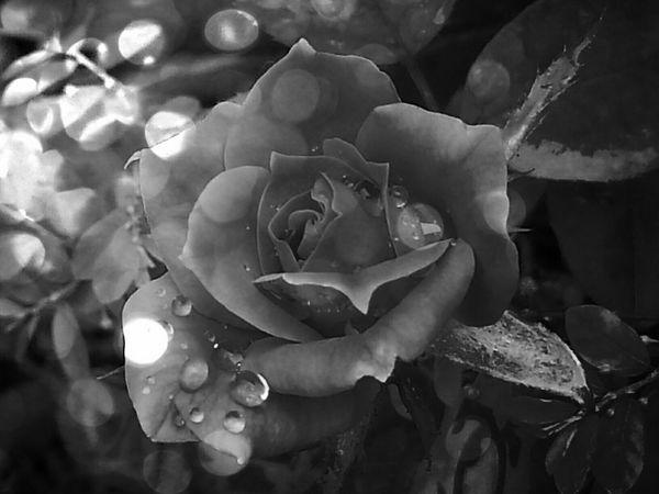 Creative Light And Shadow Rosephotography Rose🌹 MyPics Rosephotography Mybeautifulrosepic Iloveroses  Beautiful ♥ Beautifulrose Copyright© CarmenVazquezPhotography