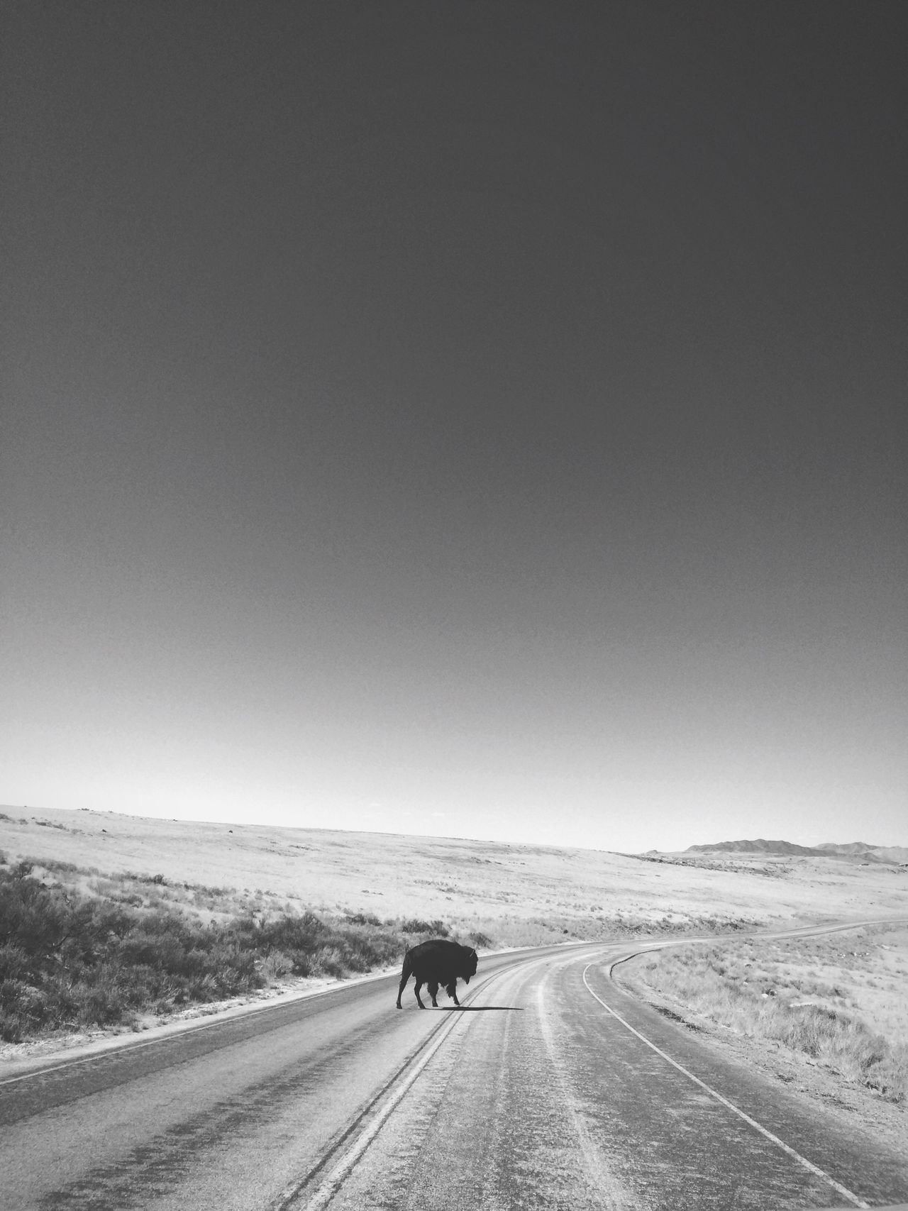 Just a lone bison in the middle of the road. Road Clear Sky The Way Forward Copy Space Full Length Road Marking Tranquil Scene Rear View On The Move Landscape Men Vanishing Point Diminishing Perspective Non-urban Scene Mode Of Transport Day Tranquility Solitude Travel Destinations Buffalo Bison Remote Nature Blackandwhite Transportation