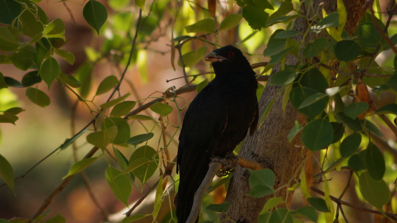 Asian  Asian Koel Bird Black Branch Close-up Focus On Foreground Full Length Indian Birds Leaf Nature Outdoors Perching Tree Wildlife Zoology