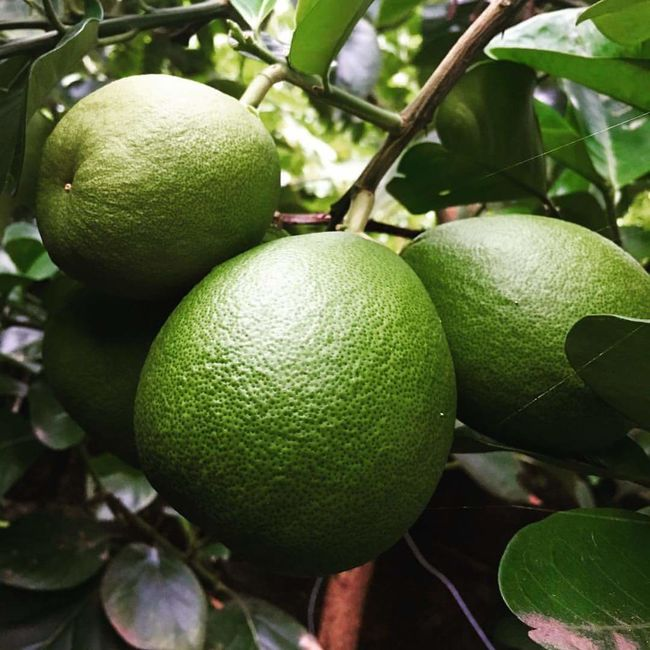 Fruit Lemon Lemon Tree Citrus Fruit Green Color Tree Freshness Food Growth Close-up Healthy Eating Vertical Juicy Food And Drink No People Grapefruit Nature Outdoors Branch Day