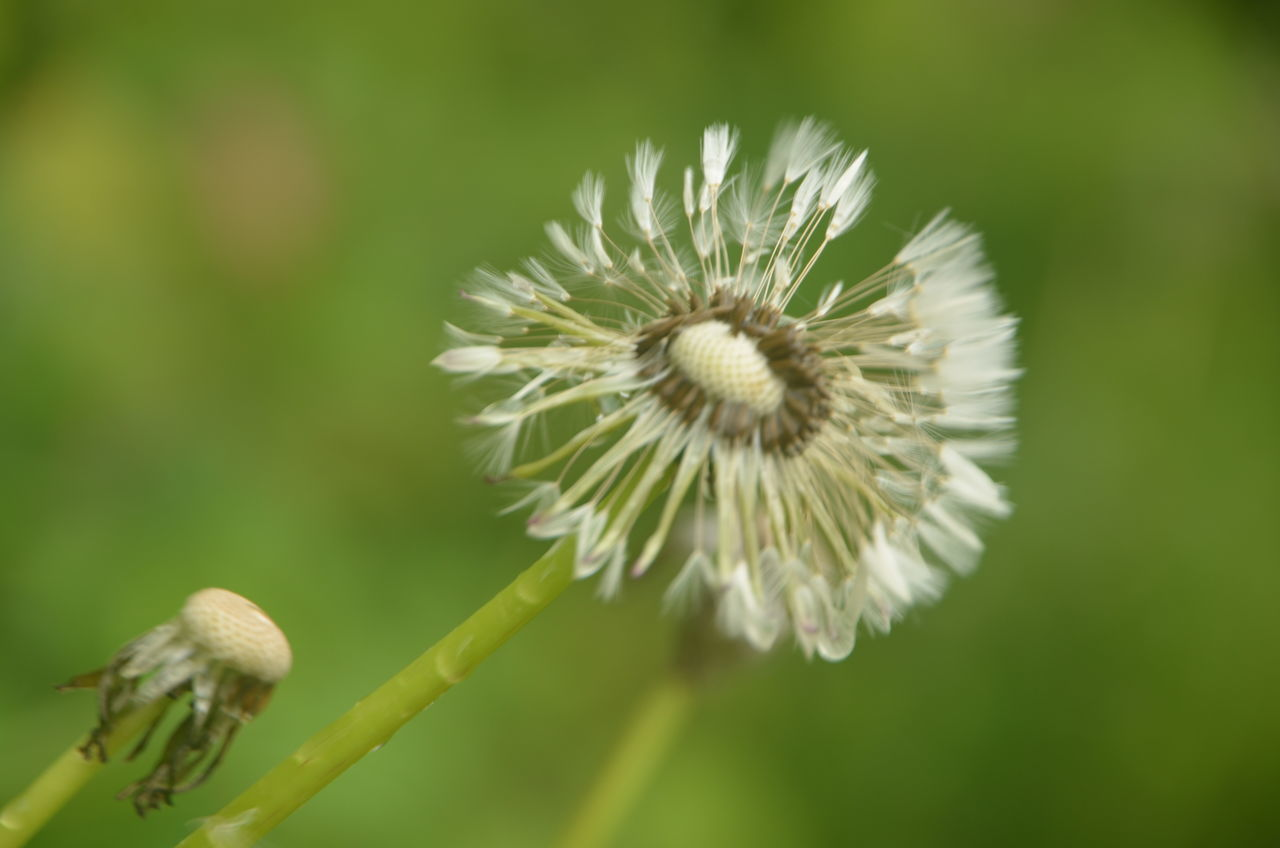 Beauty In Nature Close-up Dandelion Day Environment Flower Flower Head Fragility Freshness Growth Nature No People Outdoors Photosynthesis Plant Seeds Flower