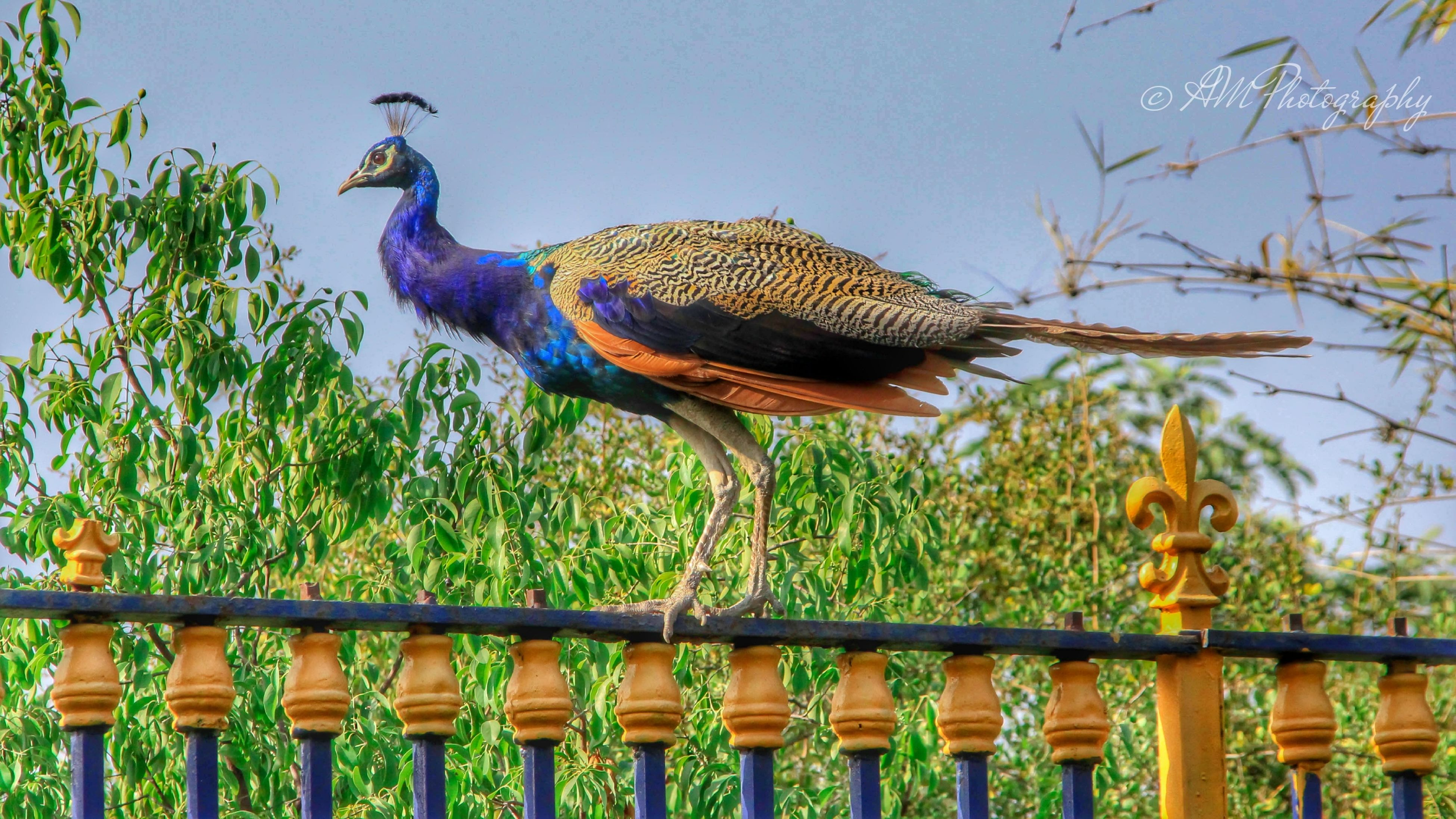 animal themes, animals in the wild, bird, wildlife, one animal, perching, railing, fence, nature, full length, tree, day, outdoors, low angle view, sky, blue, no people, green color, sunlight, two animals