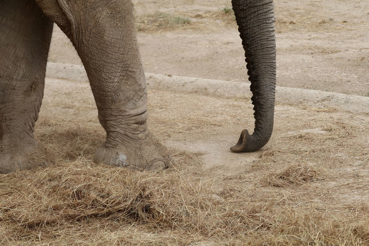 Low Section Of Elephant By Straws On Ground