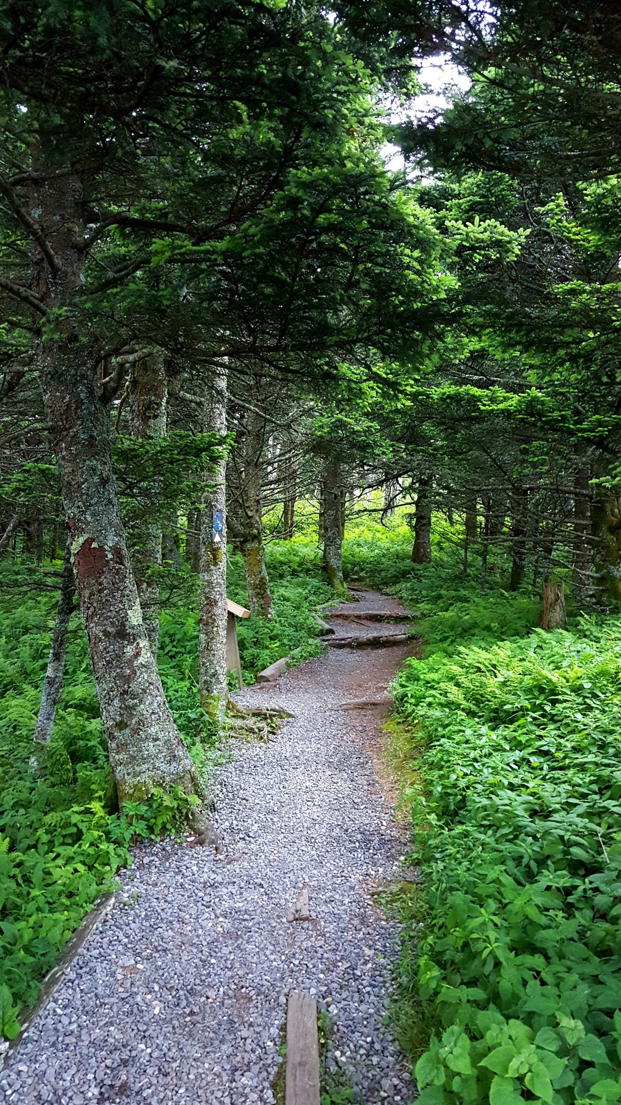 Beginning of the Balsam Nature Trail near the summit of Mount Mitchell . Trail Hiking Path Evergreen Trees Forest Ecosystem  Appalachian Mountains Blue Ridge Mountains North Carolina
