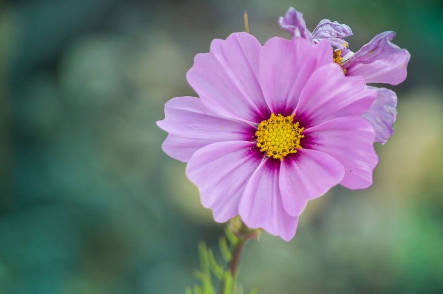 Pink Flower Flower Petal Nature Fragility Beauty In Nature Flower Head Growth Plant Focus On Foreground Blooming Freshness Close-up Pollen No People Outdoors Pink Color Day Cosmos Flower