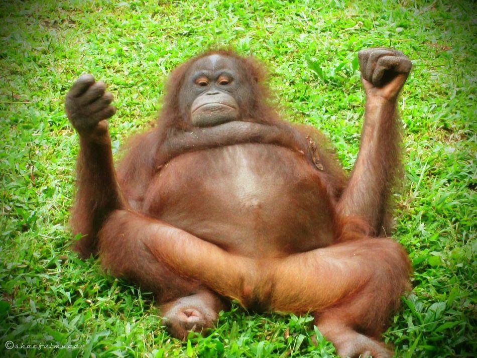 Stay Cool . . . Animals Animalportrait Save Orangutan INDONESIA