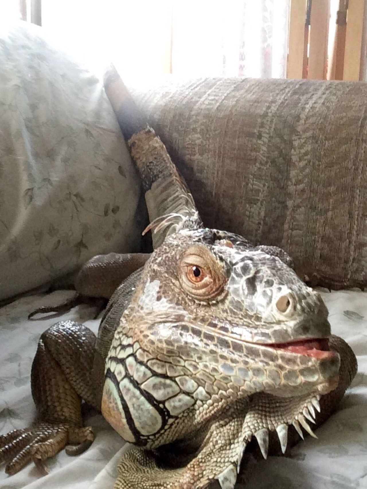 My mother in laws amazing lizard Lizard Lizard Smile Smile Smiling Animal Lizard Close Up Lizard Friend Color Lizard Cuteness Pets Pets Selfie Pet Smile Oregon Cheese!