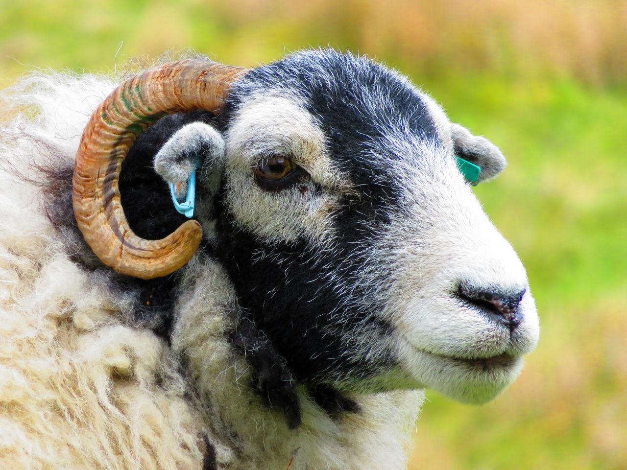 Livestock Livestock Tag Looking At Camera Sheep Yorkshire Dales Yorkshiredales Sheeps Sheep Farm Sheep🐑 Sheep Meadow Farm Animals EyeEm Animal Lover EyeEm Best Shots EyeEmBestPics Sheepfarm Farm Animal Farm Animal Close Up Sheep And Lambs Yorkshire Farm Life Animal Head  Animal Photography Farmanimals EyeEm Sheep Ranch