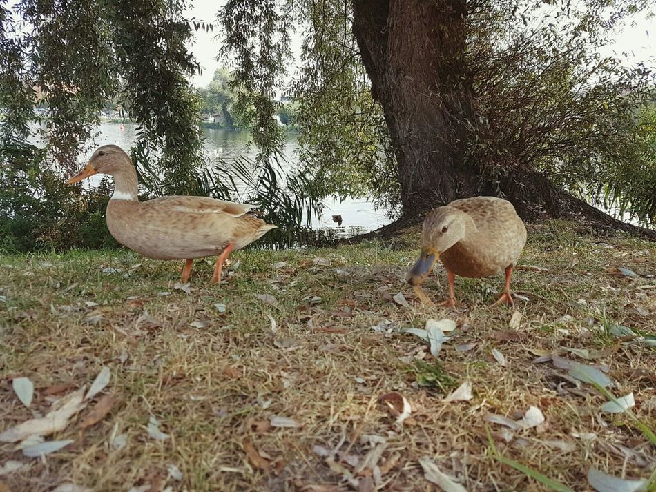2 Ducks Ducks Duck Enten Enten Füttern Bird Nature Ufer Water River Wildlife Shore Outdoors Animal Themes