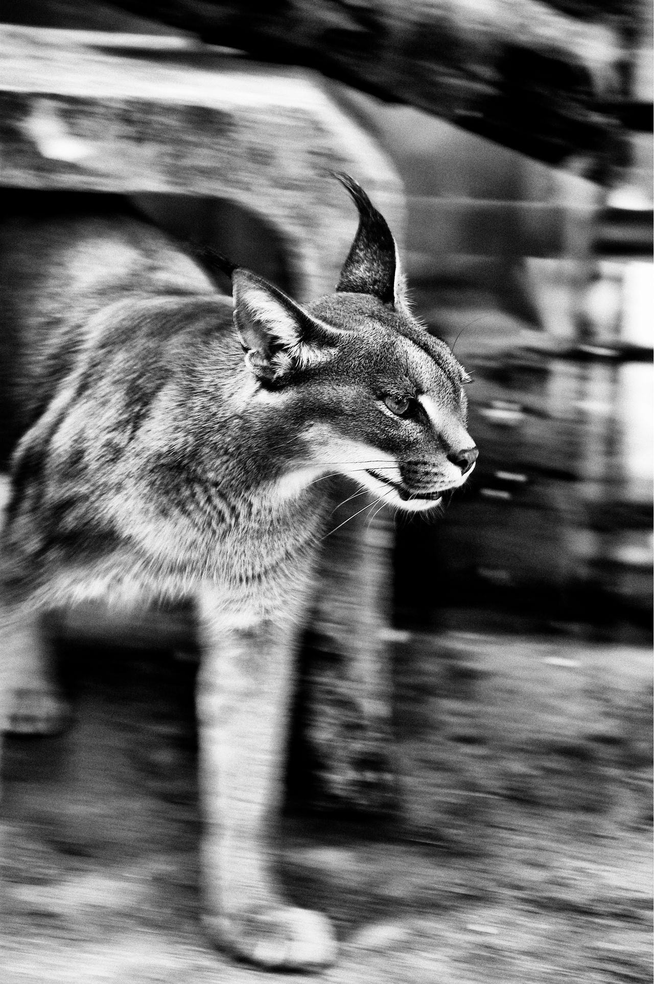 Animal Animal Themes B&w Cat Move Nature Photography One Animal Wildcat