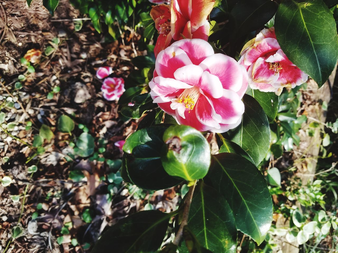 Nature Growth Pink Color Beauty In Nature Freshness EyeEmNewHere