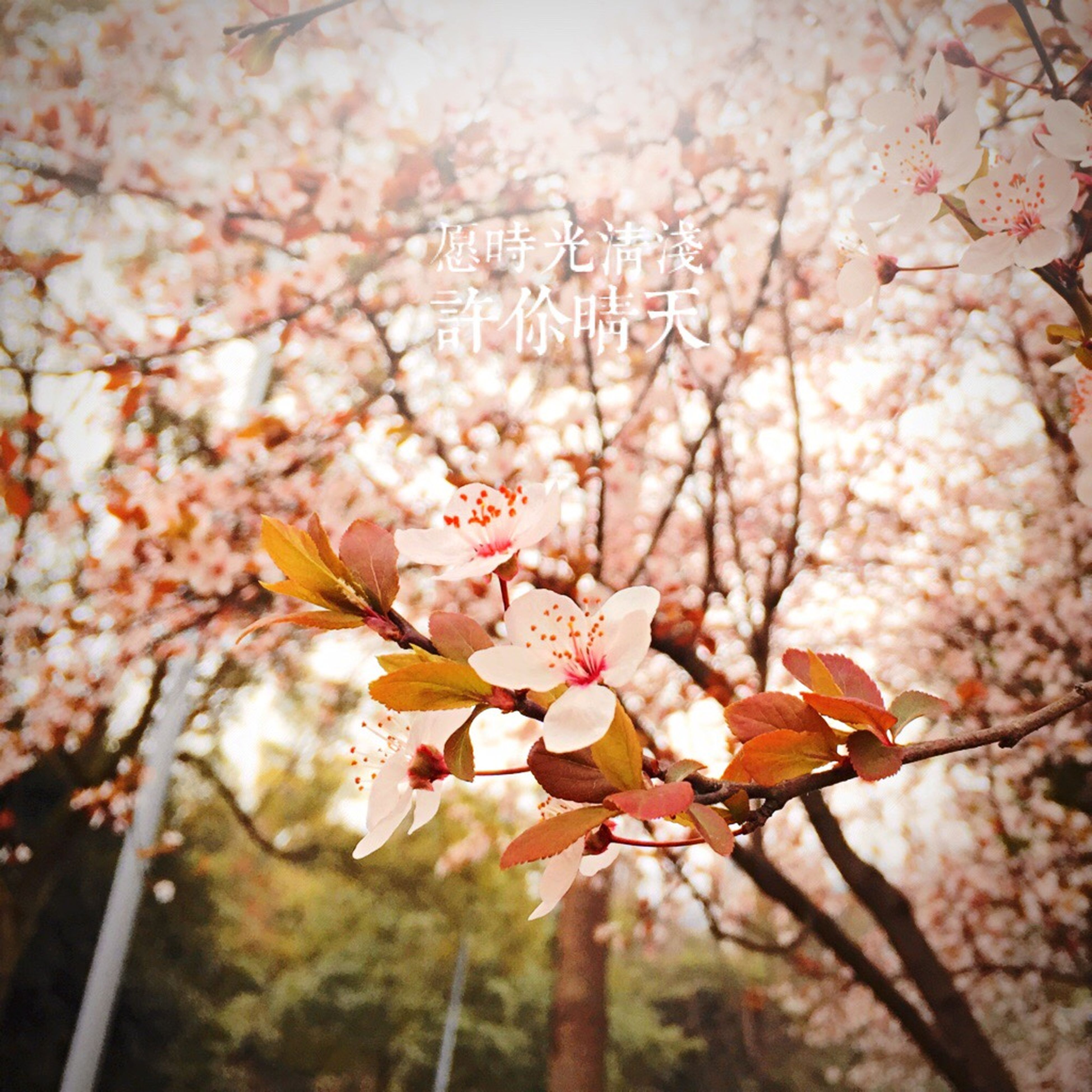 flower, branch, freshness, tree, fragility, growth, nature, beauty in nature, focus on foreground, blossom, cherry blossom, close-up, cherry tree, twig, petal, springtime, season, pink color, fruit tree, outdoors