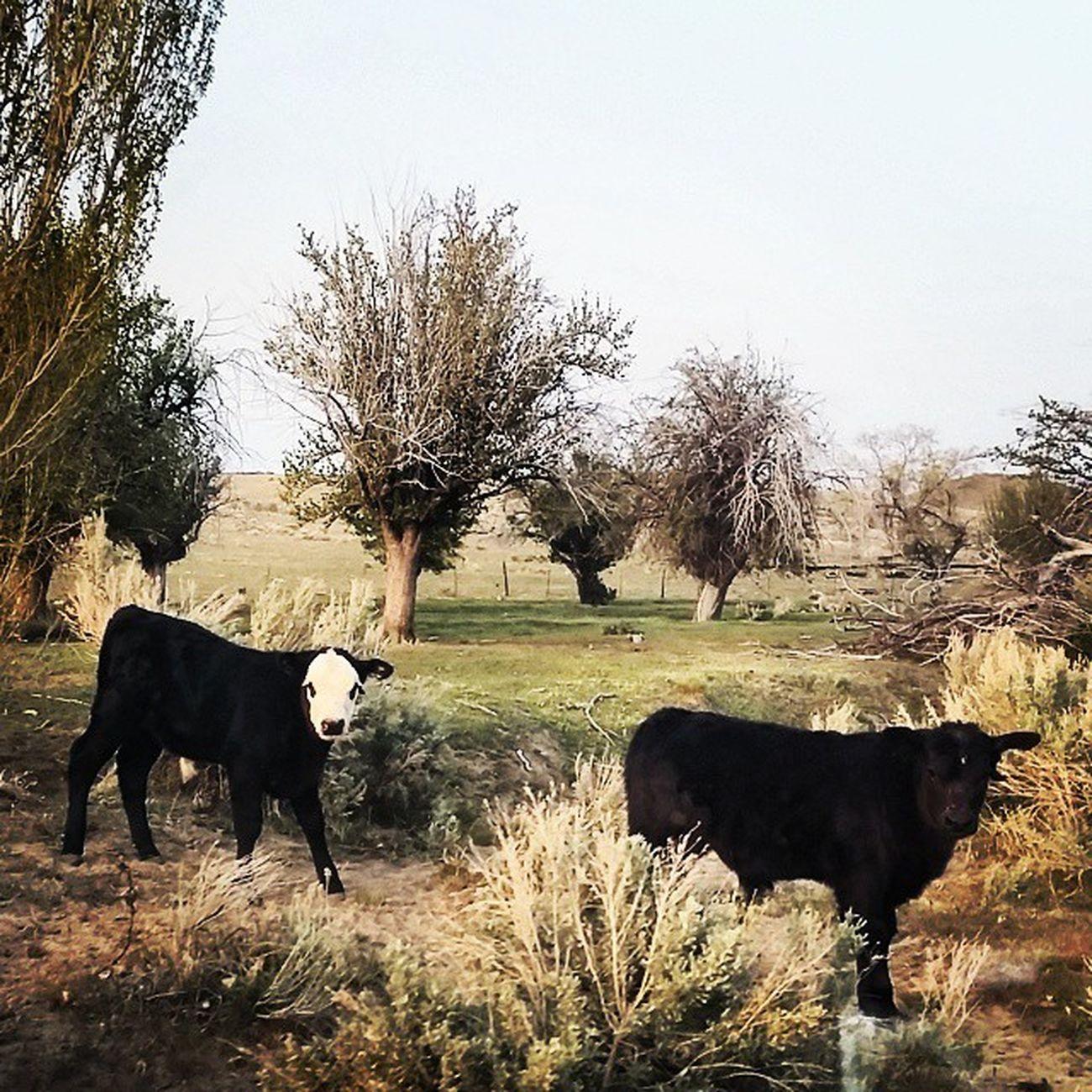 Nevada Northennevada Beef Funinthesun  Caves America Desertlove Desertlife Nextgenerationoflife Cattel Moo Beef
