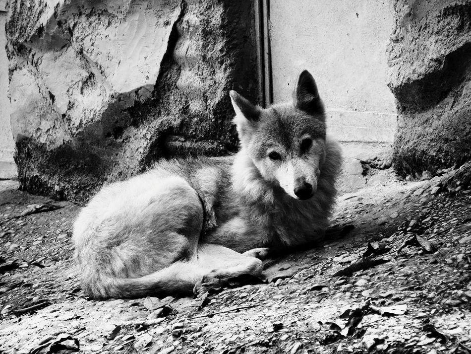 Beautiful stock photos of wolf, Animal Themes, Animals In The Wild, Beauty In Nature, Carnivora
