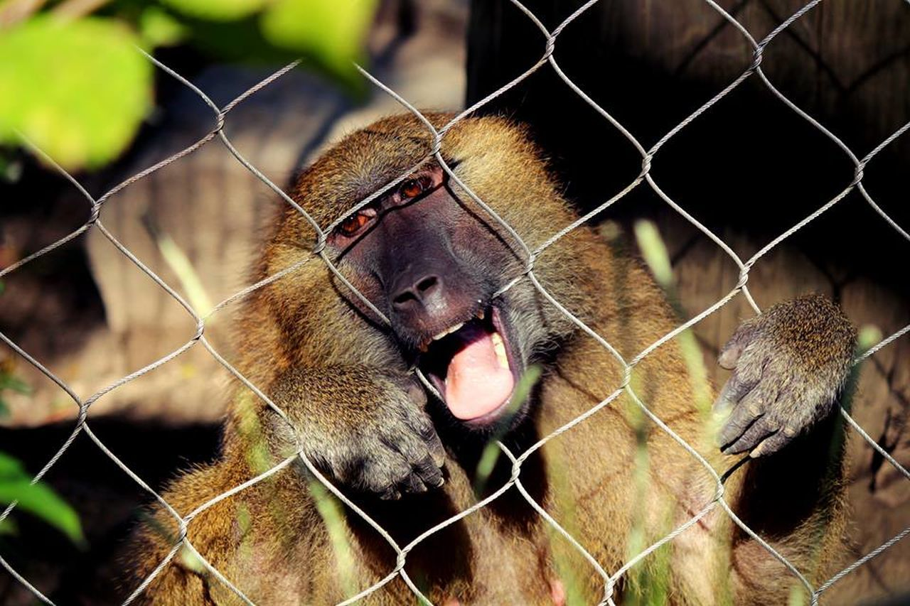 chainlink fence, one animal, animal themes, cage, mammal, protection, metal, animals in captivity, day, outdoors, no people, monkey, animals in the wild, close-up, domestic animals, nature, baboon