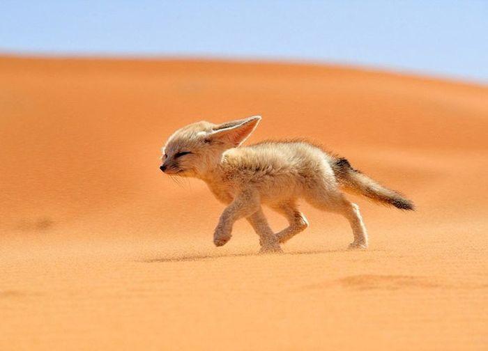 This cute animal live in sahara desert ,The fennec fox is the smallest in the fox family Travel Destinations Fennecfox Fox Animals In The Wild Dessert Arabs Jazirah Arabian Sand Cute Cute Pets Pet Sahara Desert Nature Beautiful
