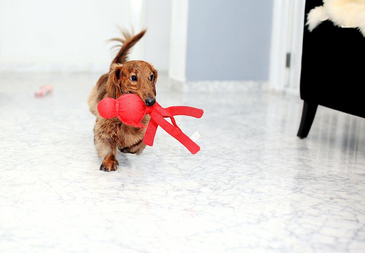Dachshund Dog I Love My Dog Pets Corner Pet Photography  Pet Dog Love Cute Pets Pets