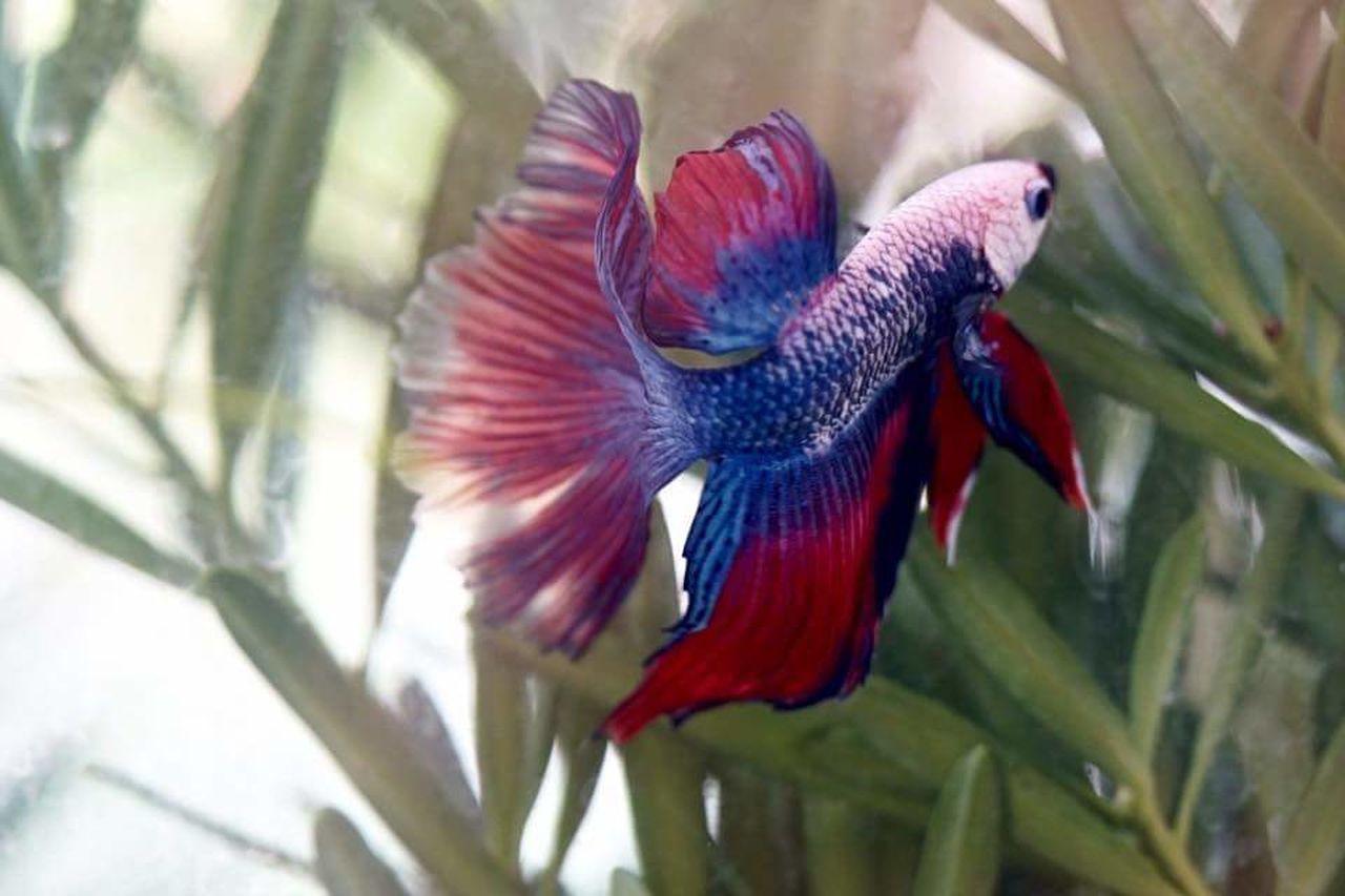 Fighter Fish Fish Tank