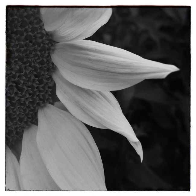 Sunflower petals. IPhoneography Photography Flowers Black And White