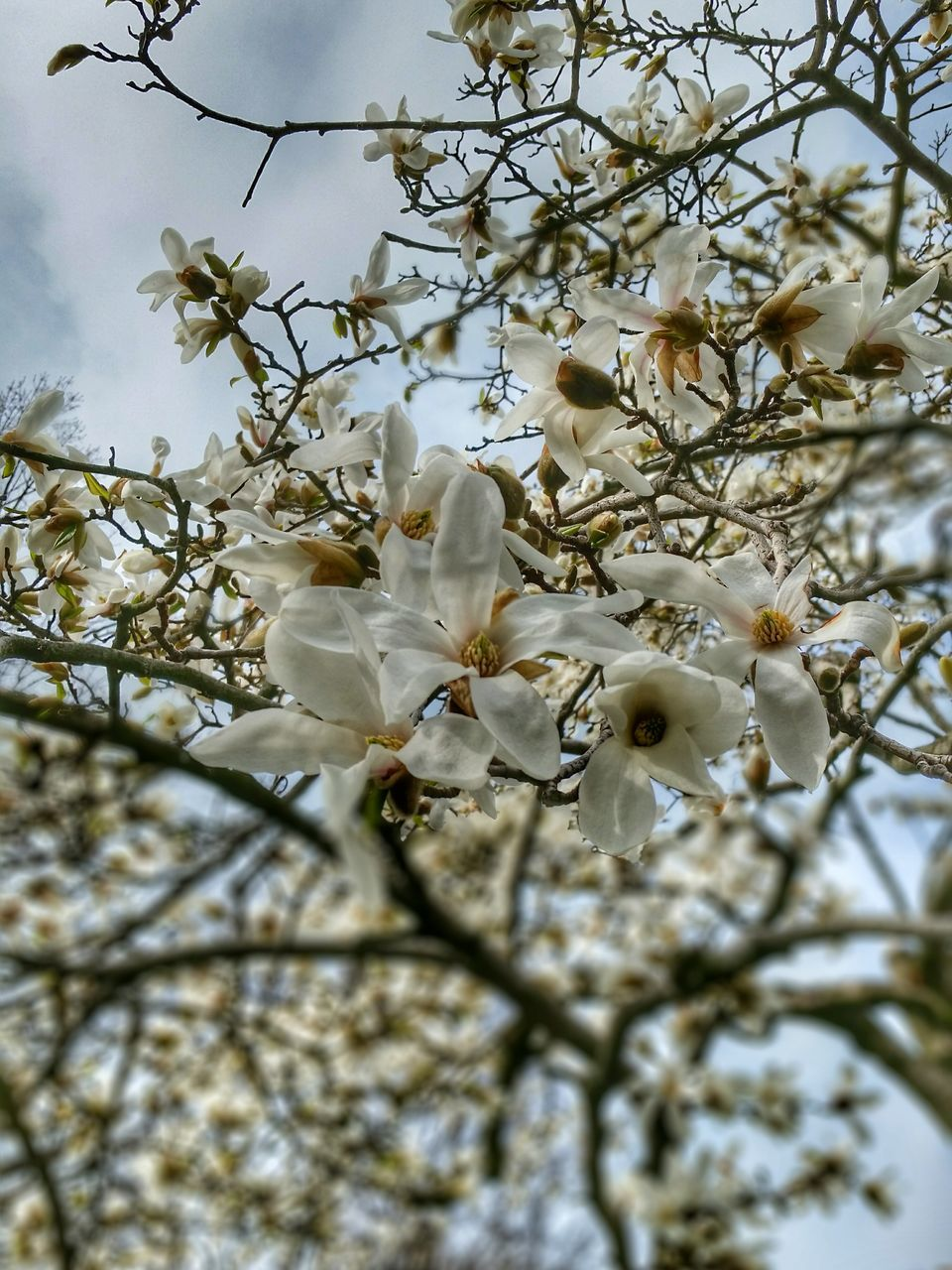 Low Angle View Of White Flowers Blooming On Tree Branches