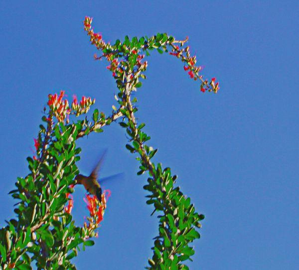 Spring Into Spring Blossoms  Blossoming  Newness Life Hummingbird Nectar Nature Outdoor Photography Ocotillo