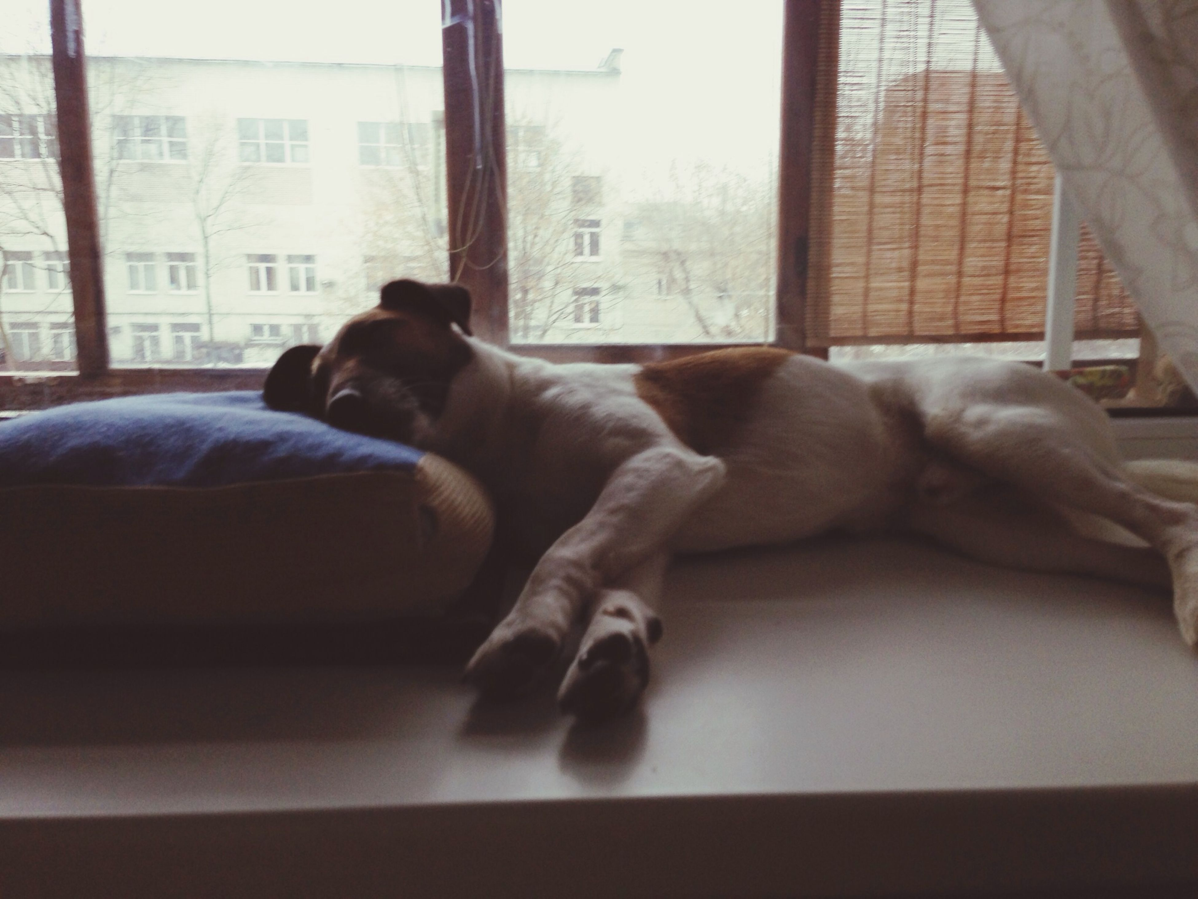 domestic animals, pets, animal themes, mammal, indoors, one animal, window, dog, relaxation, resting, sleeping, glass - material, looking through window, transparent, lying down, home interior, built structure, architecture, sitting, sofa