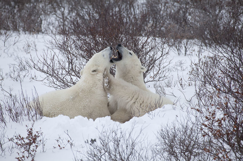 Polar Bears are playing together CHURCHILL Greeting Adventure Animal Themes Animal Wildlife Animals In The Wild Beauty In Nature Canada Cold Temperature Day Fighting Mammal Nature No People North Polar Sea Outdoors Playing Snow Togetherness Two Animals White Color Winter