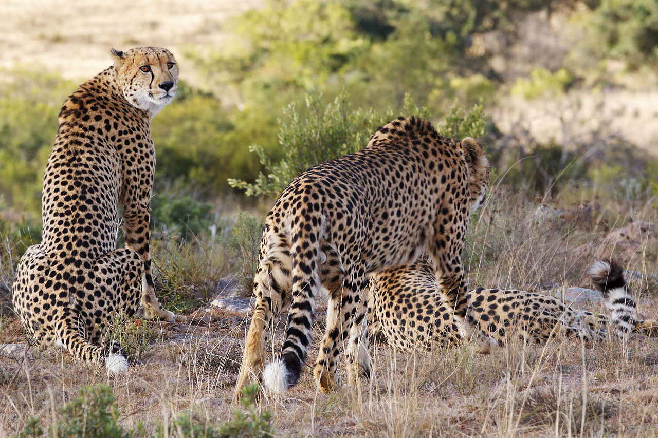 animals in the wild, cheetah, spotted, animal themes, animal wildlife, safari animals, leopard, mammal, day, feline, grass, no people, outdoors, nature