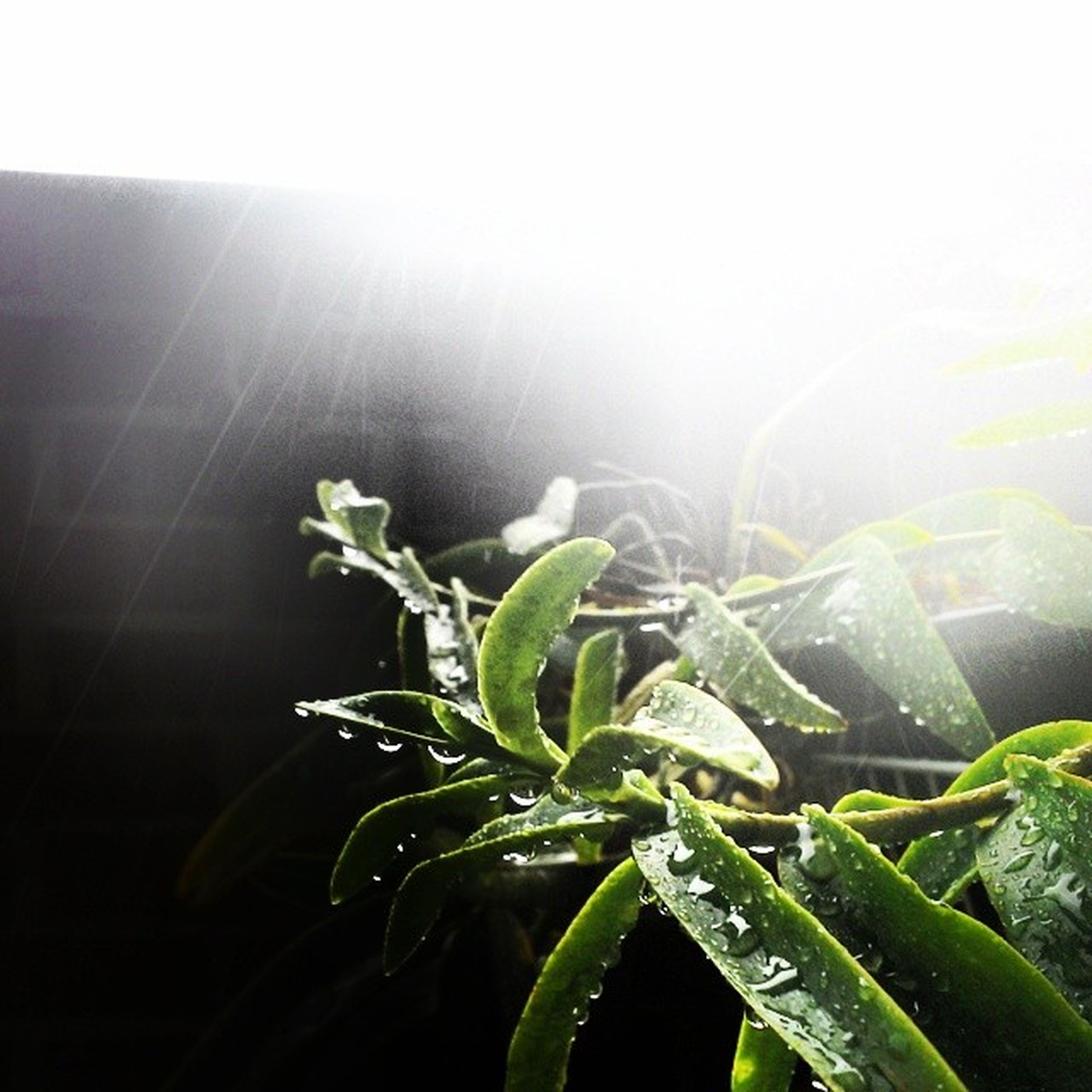 growth, plant, leaf, green color, sun, sunlight, nature, beauty in nature, sunbeam, freshness, lens flare, fragility, close-up, clear sky, tranquility, growing, day, no people, outdoors, sunny