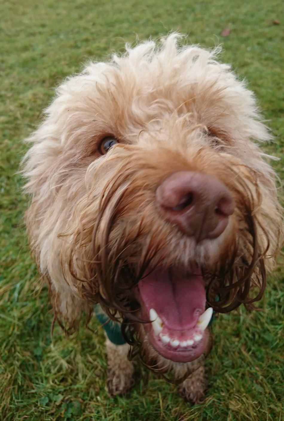 Cockerpoo Canine Love :) Canine Photography Dog❤ Dog Photography Dog Walking Doglovers Dogsareawesome Dogs_of_instagram Dogs Of EyeEm Dog Love DogLove Dogslife