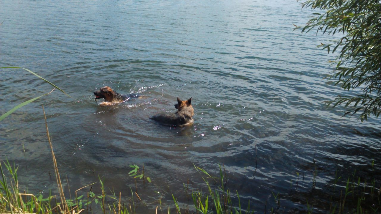 Swimming Dogs Swimming Dogs In Water Dogs Of EyeEm EyeEm Dogs Calm Water Dogs Two Dogs German Shepherds In The Water Water Lake Dogs Life Animal Themes Nature Ripples Ripples In The Water Water Ripples Tree Canine Landscape Enjoying Life Outdoors Big Dogs The EyeEm Collection